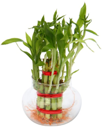 2 layer Lucky Bamboo